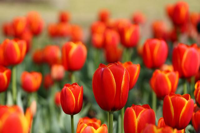 """""""Tulipomanía"""": El Día Nacional del Tulipán inunda de color Ámsterdam"""